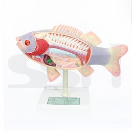 Model Fish Dissection